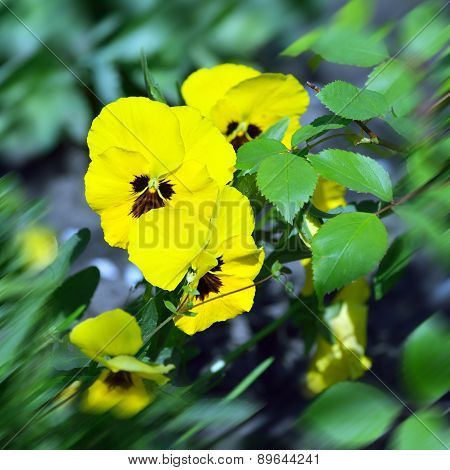 Yellow Wild Pansy Flowers / Viola Tricolor/ Alpine Violet Flowers