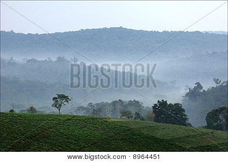 Bwindi Tea Plantations.
