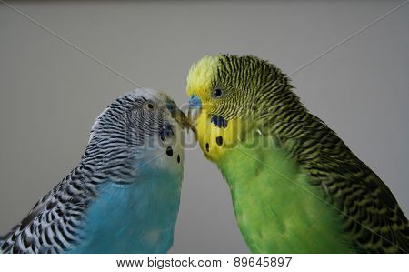 Parakeets showing their companionship