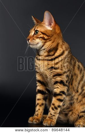 Bengal Cat Sits on Black background