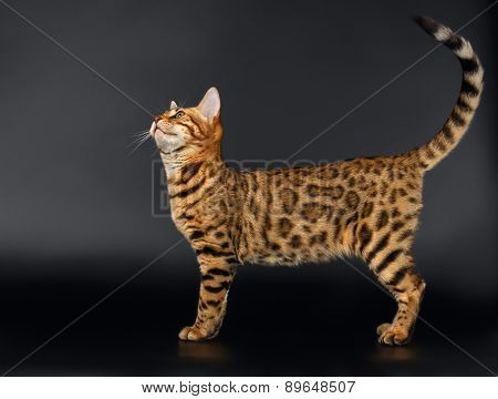 Bengal Cat Looking up on Black background