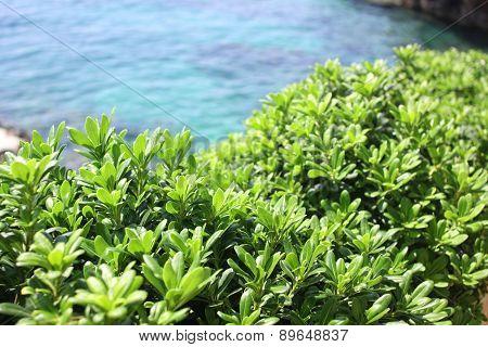 Boxwood, Boxus On The Mediterranean Sea Coast