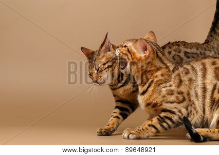 Two Bengal Cats Hissing
