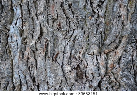 Large Oak Bark