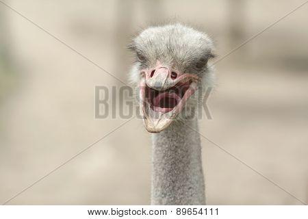 Screaming Ostrich