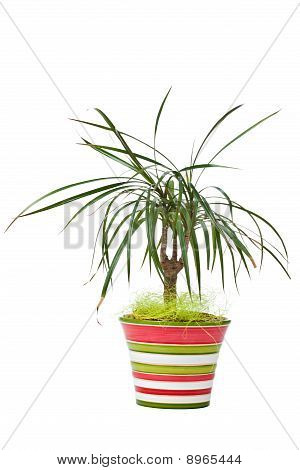 Dracaena marginata plant in colourful striped pot isolated on white