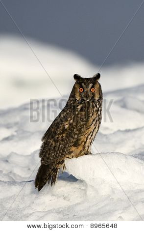 The Long-eared Owl.