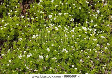 Sweet Woodruff Plant