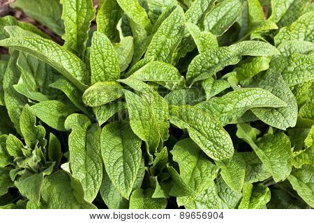 Comfrey Leaves