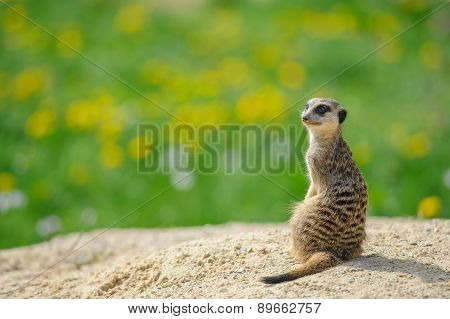 Meerkat On Watch With Green Grass In Background