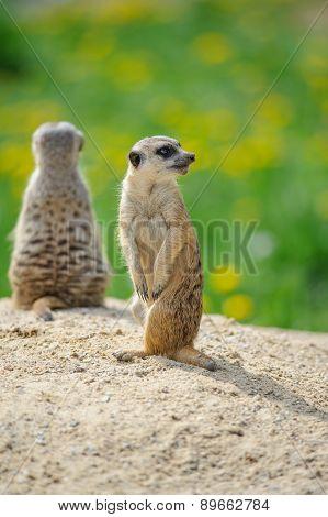 Two Meerkats On Watch