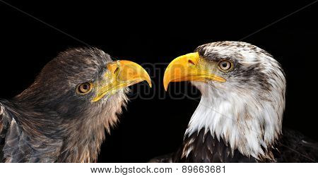 Bald Eagle and Sea Eagle isolated on black background