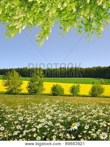 Spring landscape with field of marguerites and flowering branch tree