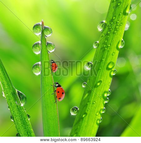 Fresh morning dew and ladybirds. Nature background.