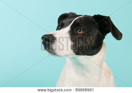 Black and white cross breed dog on blue background