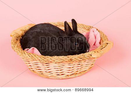 Black rabbit in basket on pink background in studio