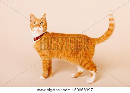 red cat in studio on beige background