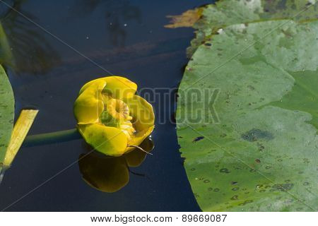 Yellow water lily in nature water