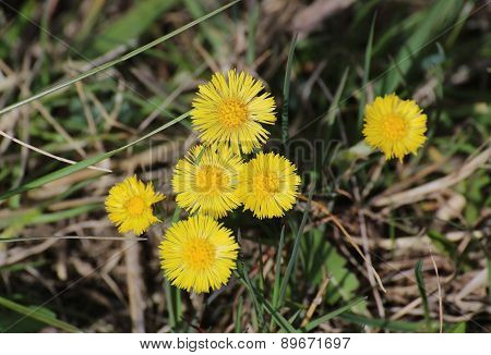 Coltsfoot Blossoms