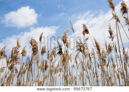 Tall Marsh Grass Against a Blue Sky and Cloud