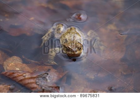 Moor Frog In The Water