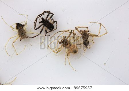 Dead Spiders On White