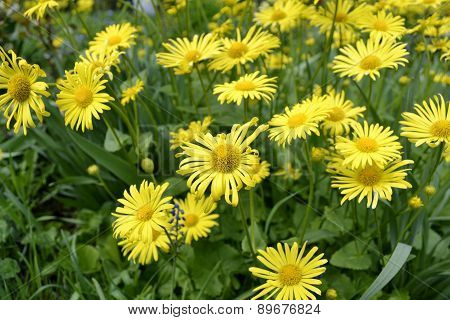 Daisies On Lawn