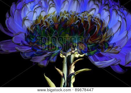 Dahlia flower isolated. Abstract Summer background