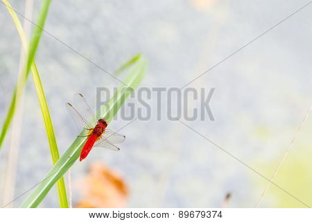 Red dragonfly on the grass background