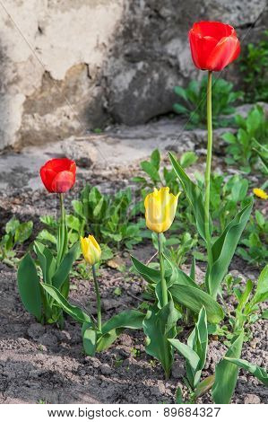 Tulips On Bed