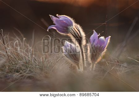 Spring Flower Pasqueflower- Pulsatilla Grandis At Sunet Time