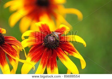 Bee On Rudbeckia Flower