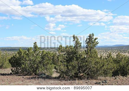 Juniper Woodland