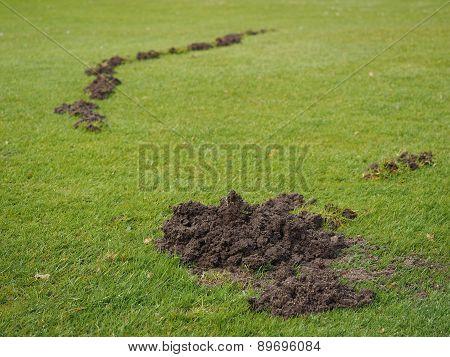 Mole damage to a Golf course fairway