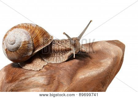 Snail Crawling On Rock