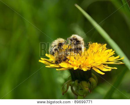 Beetles Fight On Dandelion