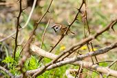picture of thorns  - A sparrow hidden in a thorn bush - JPG