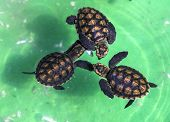 image of green turtle  - Baby Green Turtles in Small Pool - JPG