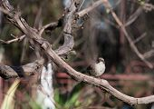 stock photo of mockingbird  - Close up of a sparrow in a tree - JPG