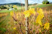 image of shiraz  - Autumn Wine valley - JPG
