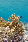 stock photo of fire coral  - coral reef with fire coral at the bottom of tropical sea - JPG