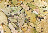 foto of peppercorns  - Background from  the bay leaves and peppercorns - JPG