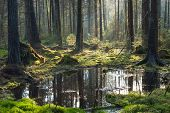 foto of coniferous forest  - Natural coniferous stand of Bialowieza Forest Landscape Reserve in morning with sunlight entering Bialowieza ForestPolandEurope - JPG
