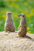 foto of meerkats  - Two Meerkats on watch on sandy ground with green grass on background - JPG