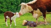 picture of calves  - Cow giving birth to two calves in field - JPG