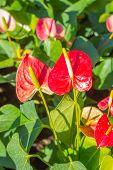 image of bisexual  - Flamingo Flower or Boy Flower flower - JPG