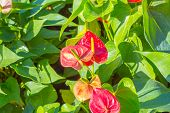 stock photo of bisexual  - Flamingo Flower or Boy Flower flower - JPG