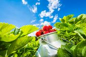 picture of strawberry  - Fresh juicy strawberries in a strawberry field between strawberry bushes - JPG