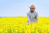 picture of cultivation  - Male Farmer Standing in Oilseed Rapeseed Cultivated Agricultural Field Examining and Controlling The Growth of Plants Crop Protection Agrotech Concept - JPG