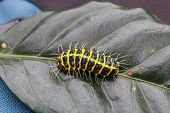 picture of caterpillar  - Close  - JPG